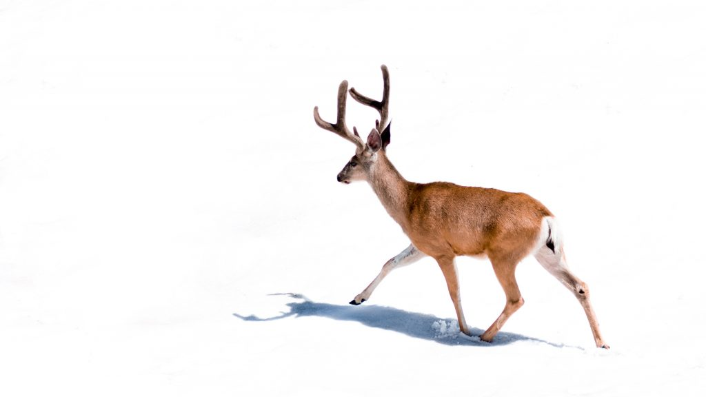 An image of a buck on a white background, casting a shadow.
