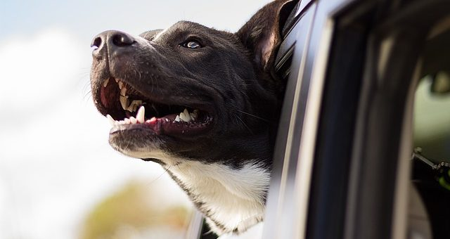 an image of a dog sticking its head out a car window