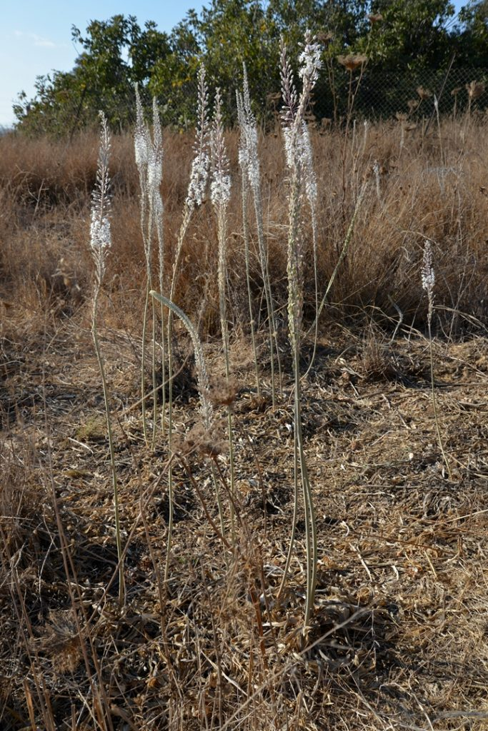 An image of dried grasses in the background and in the foreground are a dozen four-foot-tall, straight flower stalks, mostly bare, until they top few inches, where there are some tight white blooms.