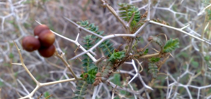 A close-up image of thorns spiking off a plant branch, with a few berries on the end.